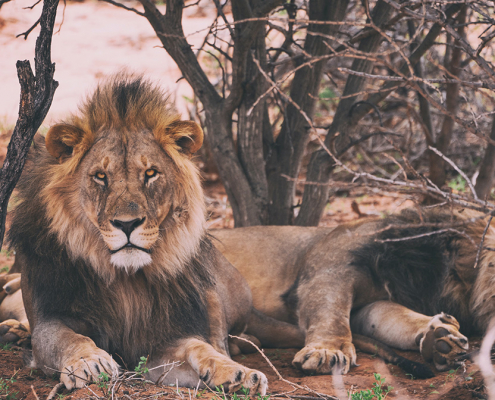lions on luxury safari lodge south africa