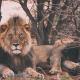 lions on luxury safari lodge south africa